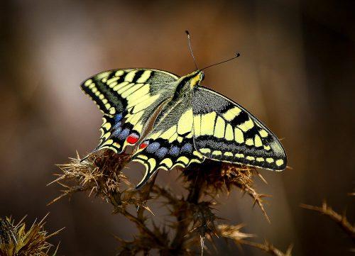 Macaón (Papilio machaon). Casabermeja (Málaga).